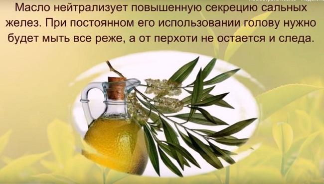 описание чайного дерева